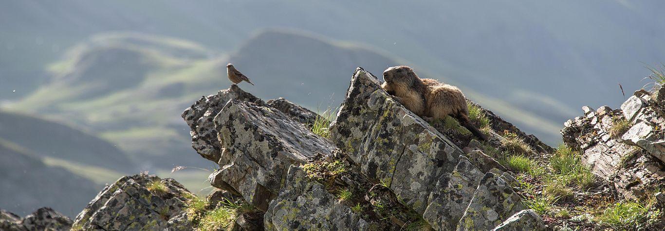 Marmotte à Orcières (© Gilles Baron)